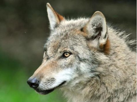 Wolf - Page 3 1631885443-wolf.9