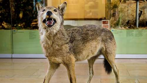 DNA-Test: Totes Tier in Baden-Württemberg war Wolf