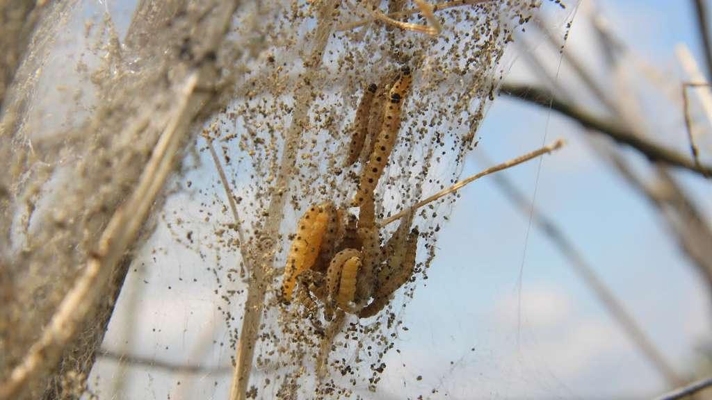Gespinstmotte frisst nun auch b ume im landkreis - Kahl gartenbau ...